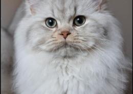 Photographe Animalier Toulouse VNM Pics British Longhair