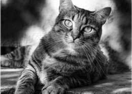 Photographe Animalier Toulouse VNM Pics Chat