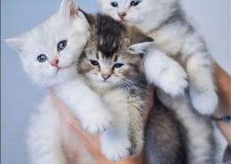Photographe Animalier Toulouse VNM Pics British Shorthair