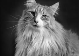 Photographe Animalier Toulouse VNM Pics Norvégien
