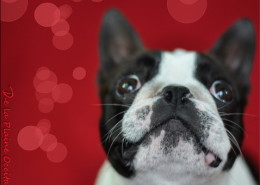 Photographe Animalier Toulouse VNM Pics Boston Terrier