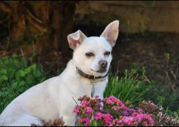 Photographe Animalier Toulouse VNM Pics croisé Chihuahua