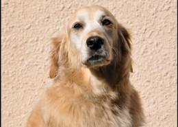 Photographe Animalier Toulouse VNM Pics Golden Retriever