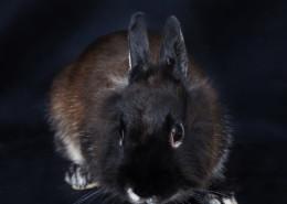 Photographe Animalier Toulouse VNM Pics Lapin nain