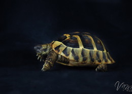 Photographe Animalier Toulouse VNM Pics Tortue