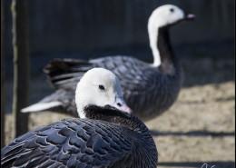 Photographe Animalier Toulouse VNM Pics Oies