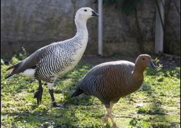 Photographe Animalier Toulouse VNM Pics Couple d'oies
