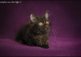 Photographe Animalier Toulouse VNM Pics Munchkin Cat