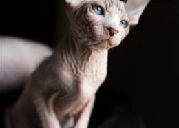 Photographe Animalier Toulouse VNM Pics Chaton Sphynx