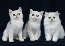 Photographe Animalier Toulouse VNM Pics chatons persan et exoctic shorthair