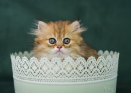 Photographe Animalier Toulouse VNM Pics chatons persan