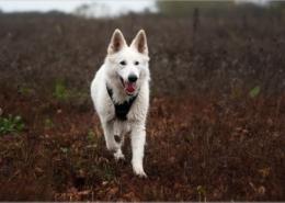 Photographe Animalier Toulouse VNM Pics berger blanc suisse