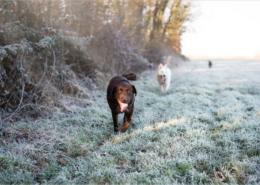 Photographe Animalier Toulouse VNM Pics Labrador